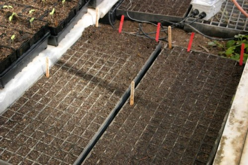 Lettuces planted in 198 seed trays