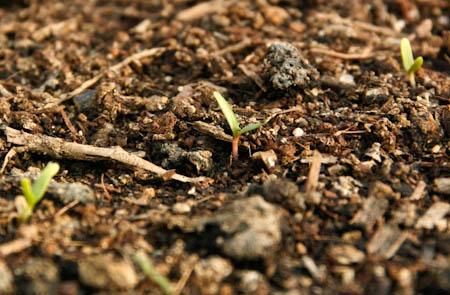 beetroot germinating