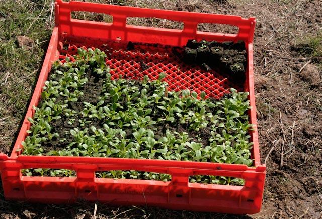 Baby Pak Choi seedlings in soil blocks
