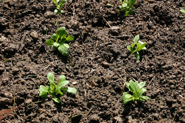 Baby Pak Choi in the ground